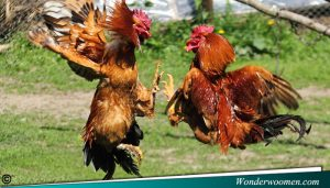 Agen Sabung Ayam Online Terpercaya 2019