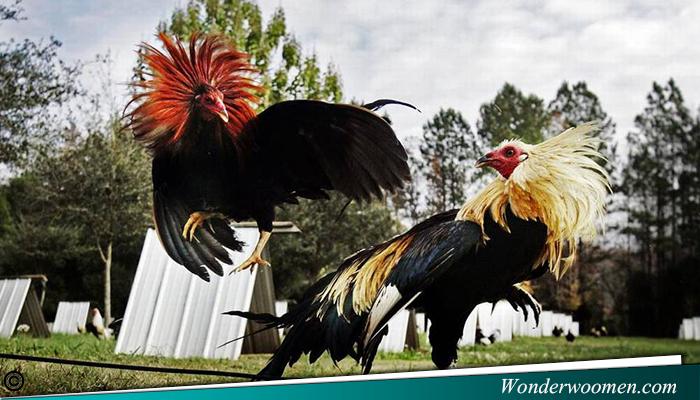 Pelelngan Ayam Petarung Bangkok