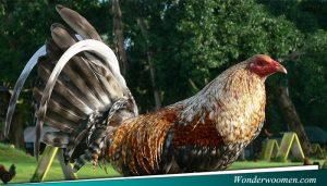 Perkembangan Tubuh Ayam Adu Bangkok