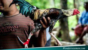 Seleksi Ayam Petarung Bangkok
