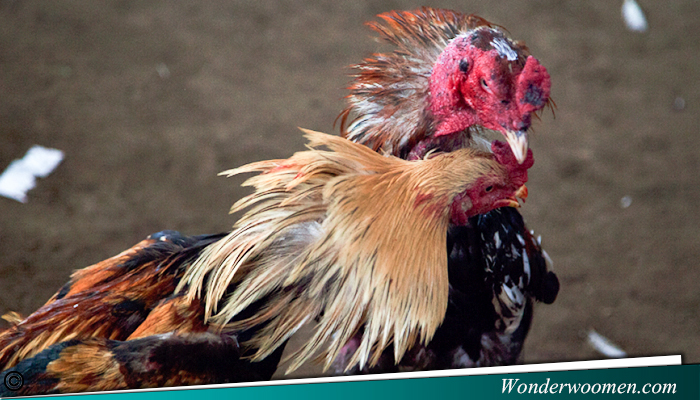 Taruhan Online Sabung Ayam Terpercaya s128