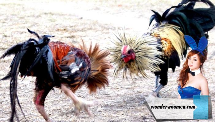 Berternak Ayam Aduan Betet