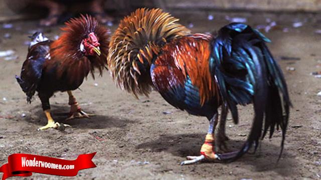 Ciri Khas Teknik Bongkar Dari Ayam Bangkok