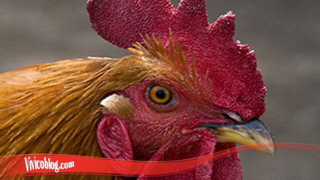 Pelajari Cepat Proses Penyembuhan Mata Ayam S128