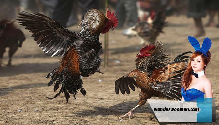 Memprediksi kemenangan Dalam Sabung Ayam.