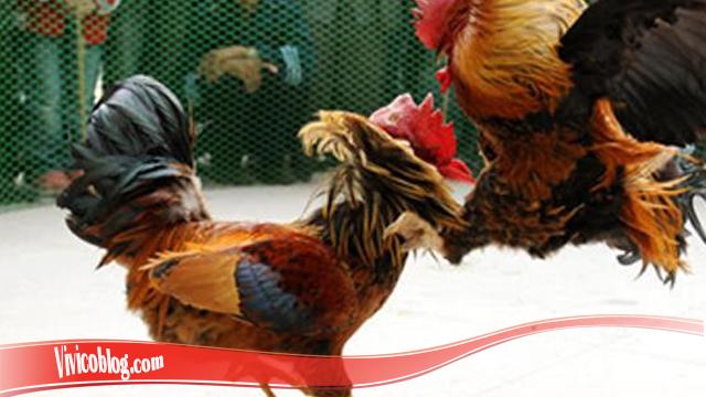Pelajari Meningkatkan Mental Ayam S128