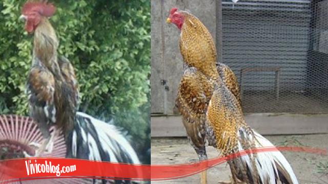 Pelajari Proses Tumbuhkan Bulu Ayam SV388
